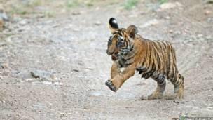 детеныши бенгальских тигров, фото