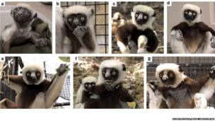 Etapas de la vida de un lémur llamado Sifaka. Scientific Data / Duke Lemur Centre
