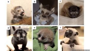 Jóvenes lémures. Scientific Data / Duke Lemur Centre