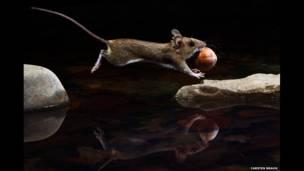 Sarı boyunlu fare, Carsten Braun (Almanya)