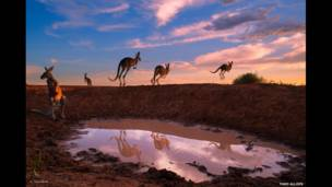 """Red kangaroos at waterhole"" de Theo Allofs"