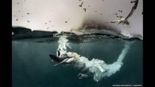 طيور الأطيش تغطس لصيد الأسماك، وذلك بشاطئ شيتلاند آيلز باسكتلندا