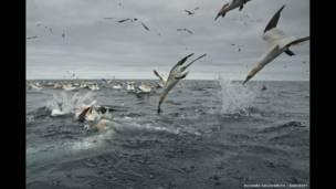 طيور الأطيش تغوص للصيد