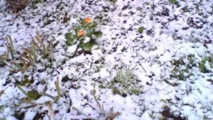 цветы календулы в снегу