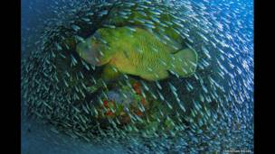Napoleon Wrasse  swimming at at Cairns, Great Barrier Reef, Flynn Reef, Australia.