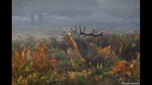 Stag Deer Bellowing in Richmond Park, London