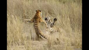 Tiger play fighting