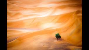 एथल तामारिस्क, दुबई रेगिस्तान