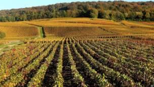 शैंपेन वाइनयार्ड, पूर्वी फ्रांस, एएफपी