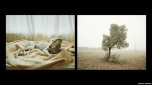 Спасенный гальго и оливковое дерево