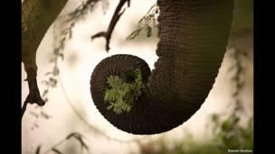خرطوم فيل يمسك مجموعة من النباتات الخضراء.
