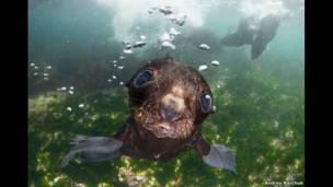Тюлень в Беринговом море