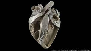 قلب بقرة – مايكل فرانك، كلية الطب البيطري الملكية.