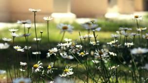 उत्तराखंड में लैंडोर स्थित सेंट पॉल चर्च के पास खिले फूल.