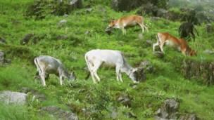 पहाड़ की ढलान पर उगी हरी घास चर रही गायें.