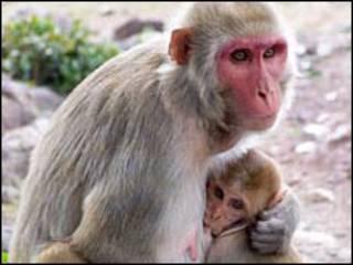 Macaca reso e seu filhote. Foto: Stuart Semple