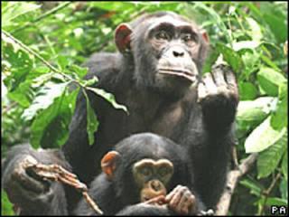 Chimpanzé (arquivo)