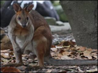Wallaby australiano. Foto: earthcode.org