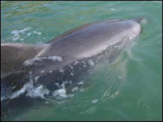 O golfinho Moko (Foto: Departamento de Conservação da Nova Zelândia)