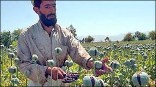 Плантації маку в Афганістані
