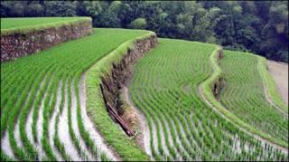 تصویری از شالیزار برنج