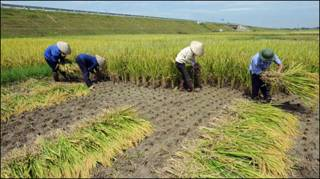 Gặt lúa