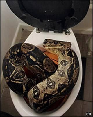 टॉयलेट के पाइप में छुपा साँप पकड़ा गया