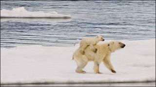 ध्रुवीय भालू
