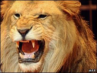 Цирковой лев (архивное фото)