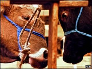 Жертвенные быки