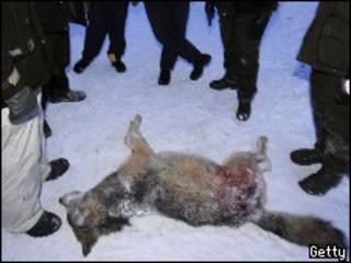 Убитая волчица