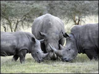Rinocerontes blancos en Kenia
