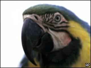 Сине-голубой ара