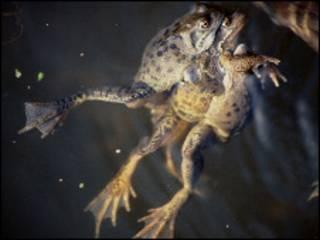Чтобы жабы прервали спаривание, должно произойти нечто сверхестественное