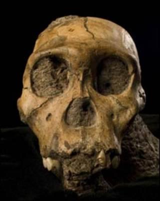 Cráneo de A. sediba (Foto: Brett Eloff/Science)
