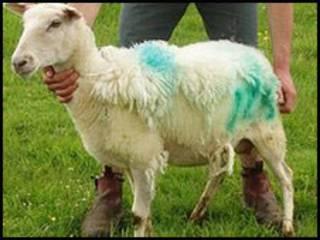 exlana羊