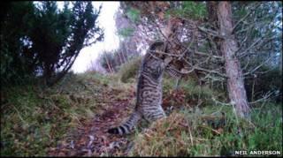 Шотландская дикая кошка