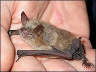 O morcego Myotis Emarginatus  (Foto: Museu de História Natural de Florença)