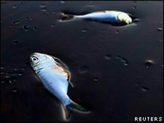 Peces muertos por el vertido en Bahía Jimmy, en Louisiana.