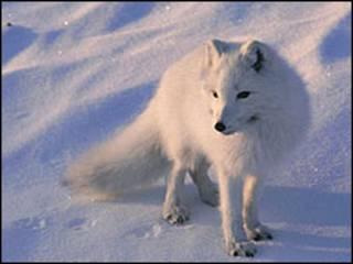 Zorro ártico en la nieve