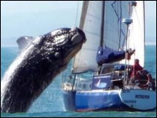 Кит, прыгающий на яхту