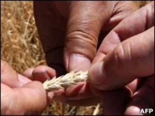 Пшеница в руках рабочего