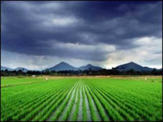 धान की खेती