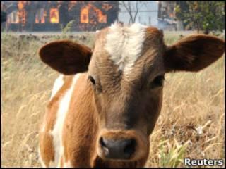 Корова в России