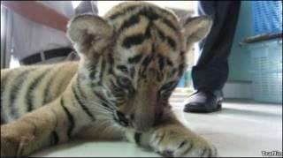 Filhote de tigre encontrado no aeroporto de Bangcoc