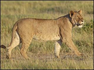 Львица в Африке
