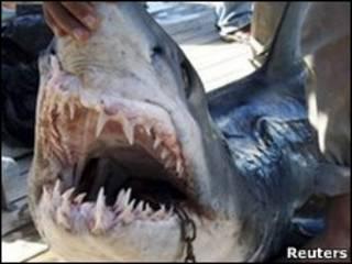 Пойманная акула-мако