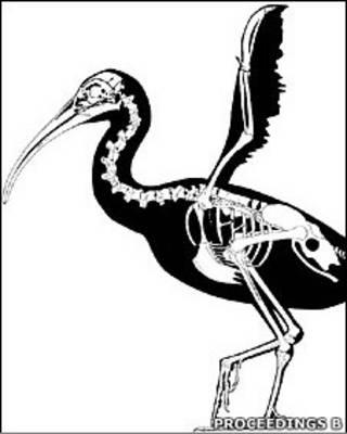 Скелет ископаемой птицы