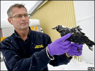 Cотрудник ветеринарной службы Швеции с мертвой птицей
