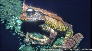 Gastrotheca guentheri